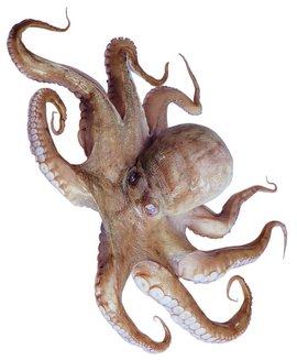 中文学名 八带鱼 拉丁学名 octopus 别称 章鱼 界 动物界 门 软体动物