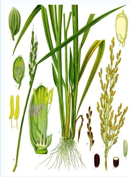 稻的植物剖面绘图