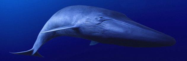 蓝鲸橡皮章素材